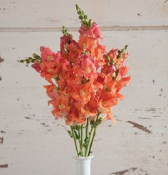 Chantilly Bronze Snapdragons are salmon/tangerine blooms that make an attractive focal point in any arrangement. Edible Flowers, All Flowers, Types Of Flowers, Cut Flower Garden, Flower Farm, Snapdragon Flowers, Dahlias, Winter Greenhouse, Antirrhinum