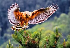 Red Shouldered Hawk ~ Cary Maures —