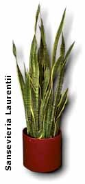 Sansevieria – When You Need Tough Indoor House Plant
