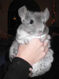 Mr.Wilson the one true king of the chinchillas.   ....not sure whose chinchilla this is but he is soooo adorable!