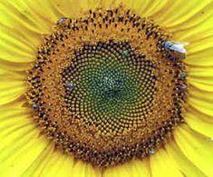 Sunflower showing Fibonacci spirals THE MATH BEHIND THE BEAUTY