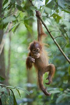 Sumatran Orangutan Baby by Suzi Eszterhas