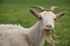 مسببات الاجهاض في الماعز - mazra3ty | مزرعتي