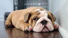 Bulldog Pics, Bulldog Puppies, Cute Puppies, Old English Bulldog, French Bulldog, Bullmastiff, Puppys, Doberman, All Dogs