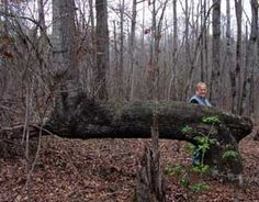 Authors and historians Don and Diane Wells visited Pike County recently and located three more Indian marker trees. The trees are at least 185 years old and up to 300 years old. They are believed to have been bent as saplings to point in a specific direction. Using a forked stick at the trunk, the trees were tied down for several years of growth.