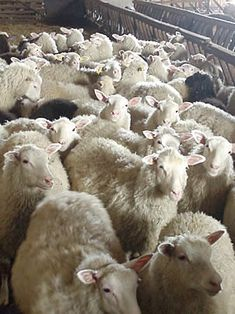 The Finnsheep is often used in crossbreeding programs to increase lambing percentage, and Finnsheep blood is found in many of the newer breeds. Dolly the sheep, first mammal to be cloned from an adult somatic cell, was a Finnish Dorset. Sheep Breeds, Farm Animals, Mammals, Goats, Farming, Video Camera, Lambs, Finland
