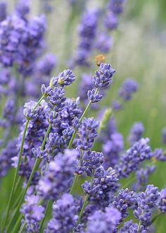 Purple Lavender by Lena Kouneva