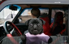 Black pug at an Army check point in the Ukraine.