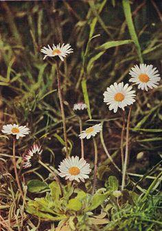 Daisy - Antique 1912 Botanical Wild Flower Print by H Essenhigh Corke