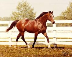Northern Dancer - A historic sire! The great great grandfather to Black Caviar on the sire line. Northern Dancer produced some incredible sires, broodmares and race horses. Pretty Horses, Horse Love, Beautiful Horses, Animals Beautiful, Thoroughbred Horse, Appaloosa Horses, Reptiles, Sport Of Kings, Racehorse