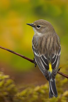 Yellow-rumped Warbler. The trees at work are full of these guys during the winter.