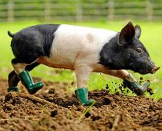 This Pig.In Boots is the cutest thing ever. In the interest of journalistic neutrality, I am obsessed with the idea of a pet pig, so I re. Animal Captions, Funny Captions, Funny Animal Memes, Funny Animals, Farm Animals, Adorable Cute Animals, Cute Baby Animals, Dog Pictures, Animal Pictures