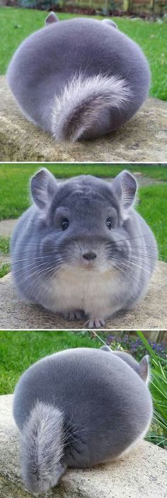 Animals That Are So Round They'll Roll Straight Into Your Heart / Chinchillas Cute Funny Animals, Funny Animal Pictures, Cute Baby Animals, Animals And Pets, Cute Creatures, Beautiful Creatures, Animals Beautiful, Exotic Pets, Animal Memes