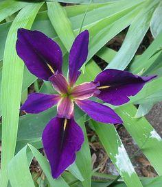 This Black Gamecock Lousiana Iris was taken in the Missippi/Lousiana borde around a small pond. Rain Garden, Small Ponds, Iris Flowers, Around The Worlds, Nature, Plants, Louisiana, Beautiful Flowers, Yard