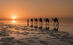 Camels On A Salt Lake, North Africa Photography By: Victoria Rogotneva