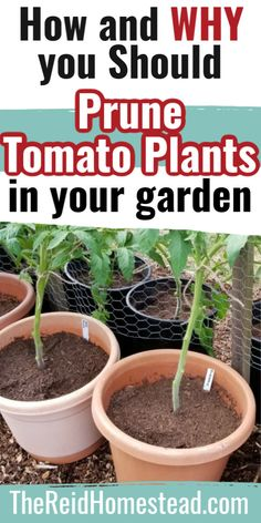 Tomato Seedlings, Tomato Plants, Tomato Plant Care, Growing Veggies, Growing Plants, Growing Tomatoes, Gardening For Beginners, Gardening Tips, Homestead Gardens
