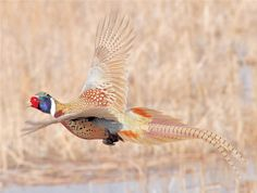 Love the browns in this pheasant