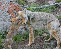 Coyote pup begs father for food