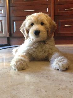 In this article, we will be discussing Goldendoodle grooming. We will outline the most important steps on how to groom a Goldendoodle, and we will even touch a little bit on Goldendoodle grooming styles. Goldendoodle Haircuts, Goldendoodle Grooming, Dog Haircuts, Dog Grooming, Mini Goldendoodle, Cute Puppies, Cute Dogs, I Love Dogs, Goldendoodles
