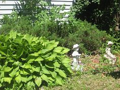 Front garden - hostas