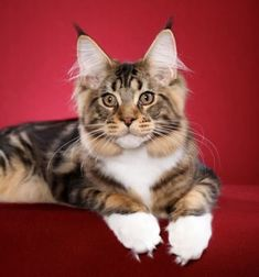 Maine Coon Cat - Pretty! My Sadie looks like this.