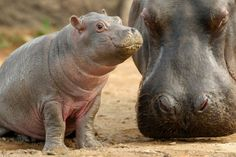 Five week old hippopotamus calf nicknamed 'Muddy' is watched carefully by her mother Primrose at her enclosure where she has trebled her wei...