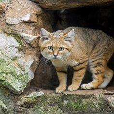 The sand cat - Felis margarita Big Cats, Cats And Kittens, Felis Margarita, Sand Cat, Magnificent Beasts, Desert Animals, Cat Walk, Animal Photography, Mammals