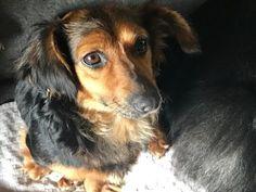 Dotti – 1-2 year old female Dachshund Cross dog for adoption