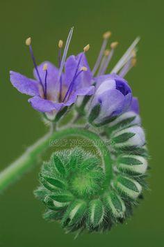 Blue curls (Phacelia congesta)