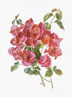 Watercolor Clip Art 'Brazil Bougainvillea' Botanical Illustration Digital Download Image for Invitations, Crafts, Collages, Wall Art... by AntiqueStock on Etsy
