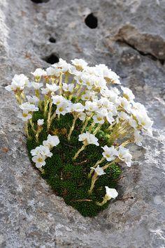 Saxifragaceae in Tessuto di Carta Rari 🌹 Rock Flowers, White Flowers, Beautiful Flowers, Alpine Garden, Alpine Plants, Rock Plants, Garden Plants, Alpine Flowers, White Gardens
