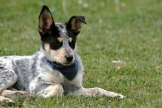 Blue Heeler - A Complete Guide To The Australian Cattle Dog australian cattle dog - Dogs Australian Cattle Dog, Australian Shepherd, Cute Puppies, Dogs And Puppies, Doggies, Healthiest Dog Breeds, Animal Rescue Stories, Free Dogs, Dog Training