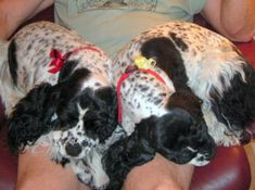 Cocker Spaniel - Black & White Parti Color with Ticking
