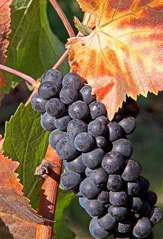 Autumn, Pinot Noir wine grapes, vineyard in Oswego Hills, Oregon. Photo: Gary Grossman, via Flickr