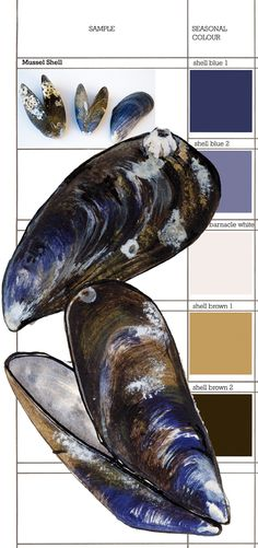 Mussel shell illustration by Sam Pickard. Contemporary