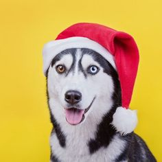funny Siberian husky breed dog in a New Year's cap🎁🎁🎁  Posted by : @friendlyhuskys  Follow me to see more nice picture 😜  Thank you so much ☝️👌☝️👌 Tag someone who you'd want to share this photo with Beautiful 💜💌😚  All about Huskys Dogs for dog lovers.  @friendlyhuskys  👥 ⤵ Double tap & tag your friend Love it 😉  ❤❤❤  ❤❤❤  ❤❤❤  #Husky #huskypuppy #huskylove#huskymix #huskylovers #huskypuppies#huskys #huskyofinstagram #huskylife#huskyworld #huskylovingclub#huskynation #huskylover…