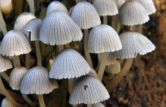 """https://flic.kr/p/ei3naq   Coprinellus disseminatus.Fairy Bonnets.   Coprinellus disseminatus (formerly Coprinus disseminatus; commonly known as """"fairies bonnets"""" or """"trooping crumble cap"""") is a species of agaric fungus in the family Psathyrellaceae. Unlike most other coprinoid mushrooms, C. disseminatus does not dissolve into black ink (deliquesce) in maturity. The species was given its current name in 1939 by Jakob Emanuel Lange. The mushroom is edible but not worth eat..."""