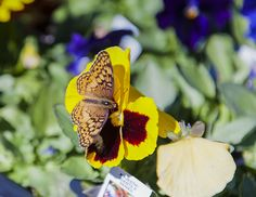 An early-fall butterfly camouflaged on a yellow-and-burgundy pansy Early Fall, Spring Colors, Pansies, Camouflage, Burgundy, Butterfly, Yellow, Camo, Start Of Fall
