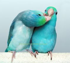 turquoise pied parrotlet, how darn sweet are these two?
