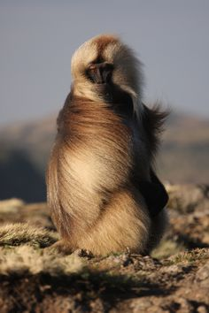 Male Gelada by Clay Wilton