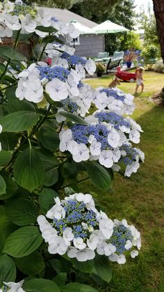 Post with 0 votes and 153 views. A different type of Hydrangea you may not be familiar with Types Of Hydrangeas, Hydrangea Varieties, Hydrangea Landscaping, Hydrangea Garden, Twist And Shout Hydrangea, Beautiful Gardens, Beautiful Flowers, Hosta Gardens, Dream Garden