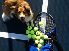 Tennis Ball fetcher! Herding Dogs, Rough Collie, Aussies, Border Collies, Sheltie, Flocking, Cattle, True Love, Sheep