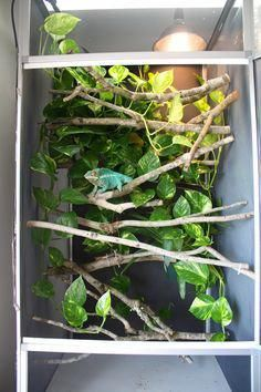 A 4' x 2' LLLReptile screen cage in grey - the best cage size for most adult chameleons. The branches are held up with thumb-tacs through the screen, leaving it unharmed.