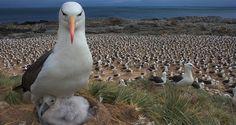 Albatros+kuşu.jpg (645×344)