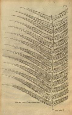 {<3} from Description des Plantes de l'Amerique, by Charles Plumier 1693