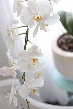 White Phalaenopsis, they need plenty of light but not direct sun.
