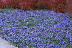 Cobertura de solo para áreas de sombra. A vinca adapta-se a solos sombreados e secos e pode ser usada para cobrir grandes extensões de terra.