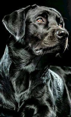 Mind Blowing Facts About Labrador Retrievers And Ideas. Amazing Facts About Labrador Retrievers And Ideas. Labrador Noir, Black Labrador Retriever, Labrador Retriever Dog, Schwarzer Labrador Retriever, Regard Animal, Dog Paintings, Dog Portraits, Dog Photography, Beautiful Dogs