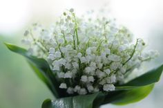 Lily of the valley by Natalie Mak