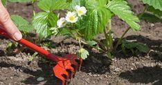 Полный перечень работ при выращивании клубники на весь сезон.